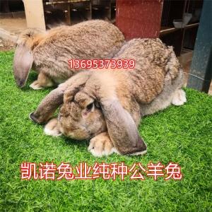 【品質保證】高品質、高質量的公羊兔  兔苗價格