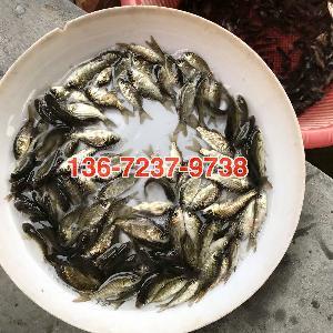 江苏鲫鱼苗批发_供应黄金鲫鱼_江苏徐州__鱼类-食品商务网