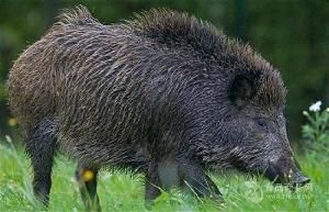 廣西梧州野豬養殖場,廣西梧州野豬價格