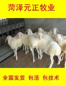 純種小尾寒羊價格