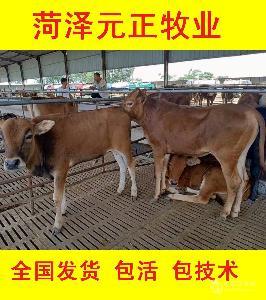 300斤肉牛犢價格表