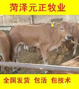 400斤西门塔尔牛犊