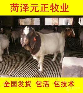 纯种波尔山羊种羊价格