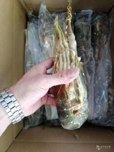 小青龙  青龙虾 花龙虾 一手海鲜食材