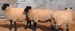 头胎怀孕萨福克绵羊8个月的萨福克羊羔价格