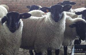 养殖的萨福克羊品种纯养殖基地萨福克羊饲养方法