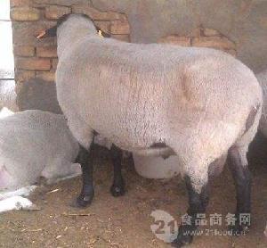 甘肃附近卖萨福克绵羊卖羊人电话