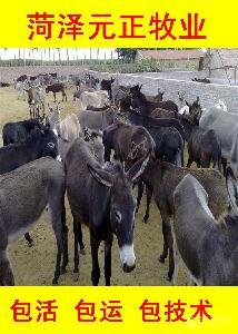 驴驹子一头多少钱