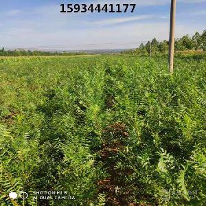 1年文冠果苗價格--1年文冠果苗價格