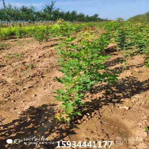 1年生五角楓樹苗價格=五角楓苗