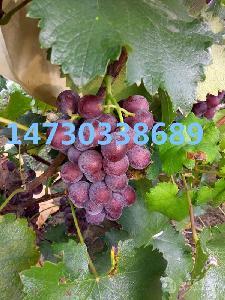 紅提葡萄,巨峰葡萄,禮品盒裝框裝