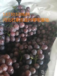 冰糖巨峰葡萄大量成熟了