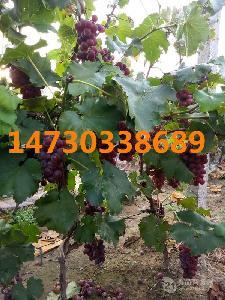 巨峰葡萄二茬果河北晋州葡萄水果批发