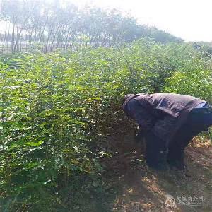 大刺皂角苗