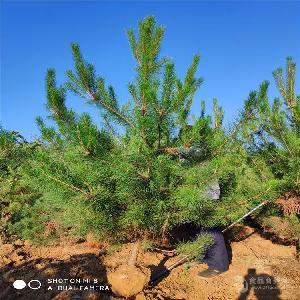 2米油松~~2米油松價格產地批發
