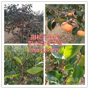 1年阳丰甜柿苗品种=2年甜柿苗量大价优=山西阳丰甜柿苗产地批发