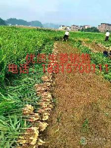 生姜產地一斤是多錢今日生姜價格多錢一斤