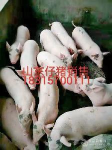 今日的仔豬價格一斤是多錢現在的仔豬價格是多錢一斤