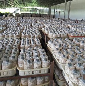 供應批發茶樹菇菌棒