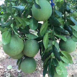 泰国红心青柚苗/出售红心青柚苗
