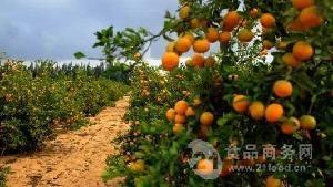 出售爱媛38号柑橘苗