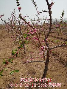 5公分桃樹~五公分桃樹=5公分桃樹基地/價格/批發價格