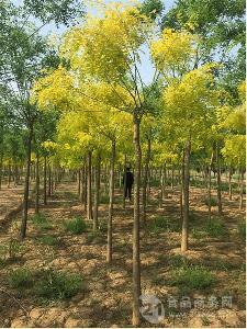 山东金叶槐 6-8-10公分 苗壮型好 大型苗木基地