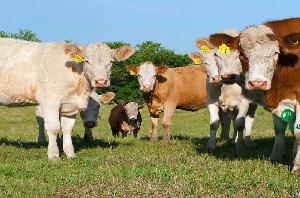 黄牛养殖场建设