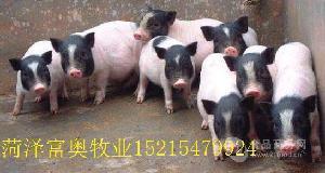 賣2個月的小香豬崽30斤的香豬苗養豬場