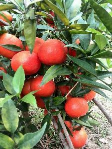 象山東方紅橘苗