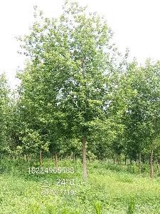 12公分金叶复叶槭价格 13公分金叶复叶槭上车价格