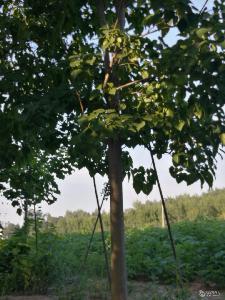 15公分楸樹價格 16-18公分楸樹價格行情