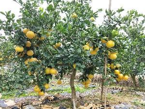 甜葡萄柚苗(台湾)甜葡萄柚苗格