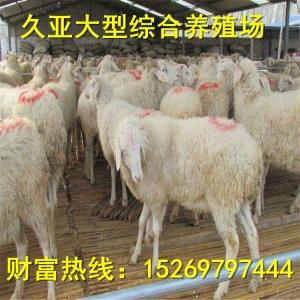 养殖小尾寒羊的场家小尾寒羊养殖场