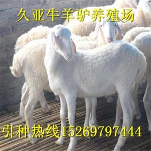 正宗湖羊养殖场湖羊价格