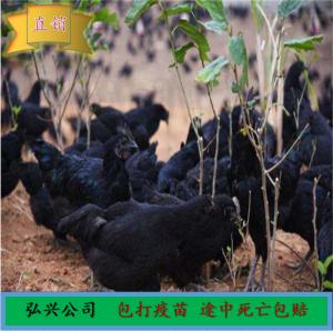 五黑一绿 绿壳蛋鸡出售批发价格