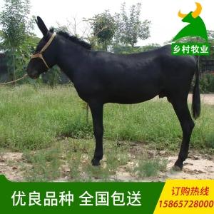 養殖場直供烏頭驢 屠宰用黑頭驢 烏頭驢價格