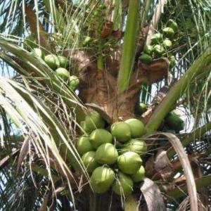 新鲜热带水果椰子王价格