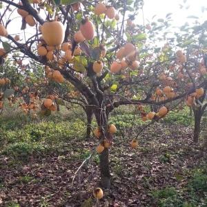 8公分甜柿子树=9公分涩柿子树=基地10公分柿子树价格