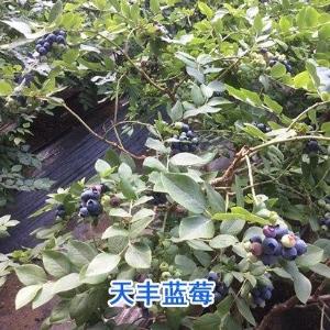 蓝莓苗种植