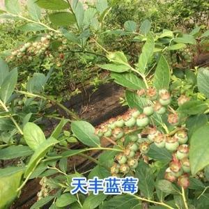 蓝莓苗木基地