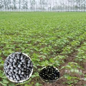黑龙江大粒黑豆种子/小黑豆籽基地/回收黑豆