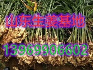 河南姜种植技术