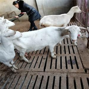 浙江萨能奶山羊养殖基地 纯种莎能奶山羊