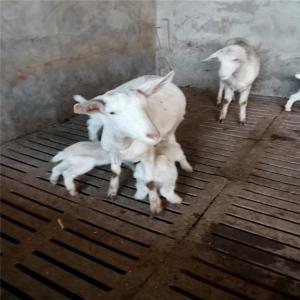 四川关中奶山羊价格 纯种萨能奶山羊