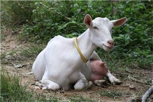 福建陕西关中奶山羊 奶羊活苗