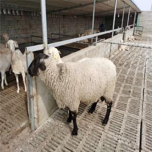 羊羔萨福克羊创造变化