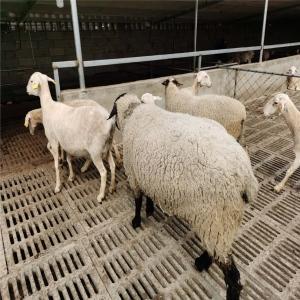 萨福克种母绵羊养殖服务为先