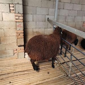 萨福克绵羊种母养殖场电话开拓创新