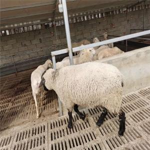 成年萨福克绵羊服务优先